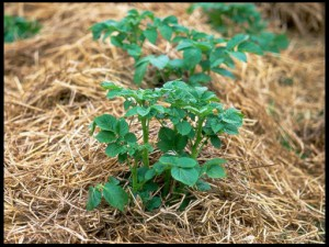 Planting-potatoes-in-straw2222